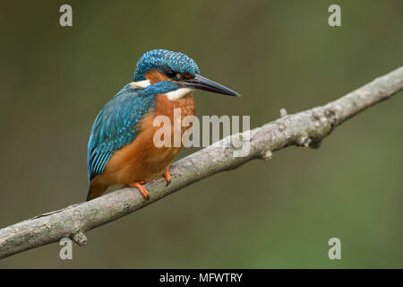 Common Kingfisher / Eisvogel  ( Alcedo atthis ), male in spring, perched on a branch above the the riverside, detailed close-up, wildlife, Europe. - Stock Photo