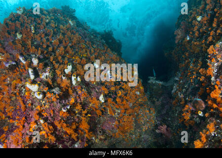 Colony Flower Tree Coral (Scleronephthya sp.). Riot of colors of underwater world.  Picture was taken in the Ceram sea, Raja Ampat, Papua, Indonesia - Stock Photo