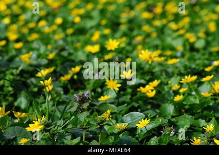 Marsh-marigold, kingcup, Caltha palustris, yellow wildflower. - Stock Photo