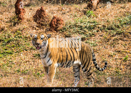 Bengal tiger  close view at zoo at different position at national park. - Stock Photo