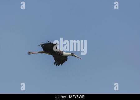 Woolly-Necked Stork or White Necked stork (Ciconia episcopus) In Flight. - Stock Photo