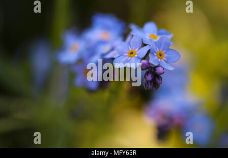 Forget Me Not, Myosotis Sylviatica, , macro image showing delicate blue flowers with yellow centre, Shepperton England, U.K. - Stock Photo