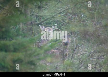 Three Fallow deer (Dama dama) hidden amongst trees - Stock Photo