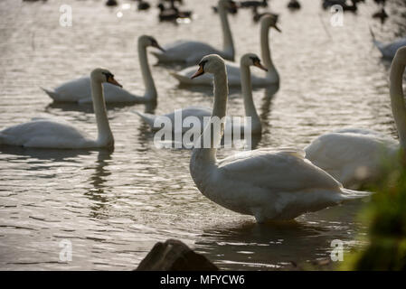 A group of swans swimming on a lake with evening Autumn light - Stock Photo