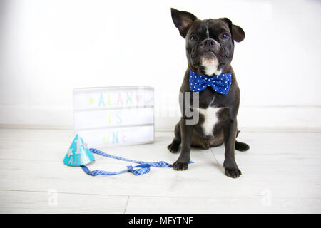 French Bulldog celebrates birthday with dog cake smash. Turning one wearing party hat and bow tie with lightbox and dog birthday cake. One ear up. - Stock Photo