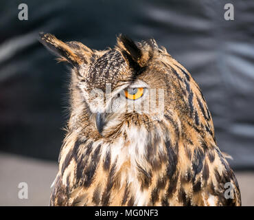Bird of prey, Alba Falconry bird sanctuary stall, Newkirkgate, Leith, Edinburgh, Scotland, UK. Close up of Eurasian eagle owl, Bubo bubo - Stock Photo