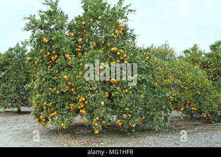Maturing Cutter nucellar Valencia Oranges on tree  'Citrus sinensis', early March, Bakersfield. - Stock Photo