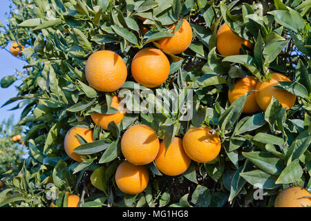 Maturing Cutter nucellar Valencia Oranges on branches, 'Citrus sinensis'. - Stock Photo