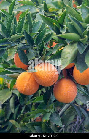Treated maturing Cutter nucellar Valencia Oranges on branch 'Citrus sinensis'. - Stock Photo