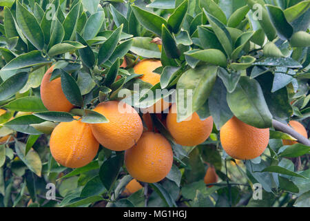 Maturing Cutter nucellar Valencia Oranges on branch 'Citrus sinensis'. - Stock Photo