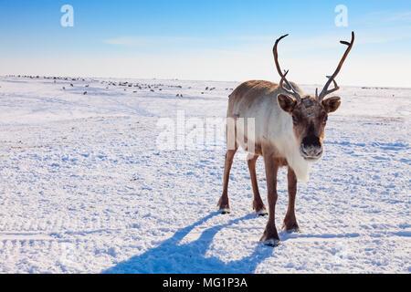 Reindeer in winter tundra - Stock Photo