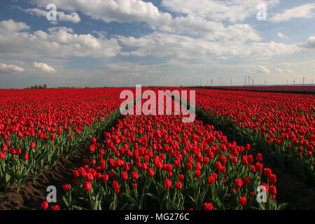 Tulip field in spring. - Stock Photo