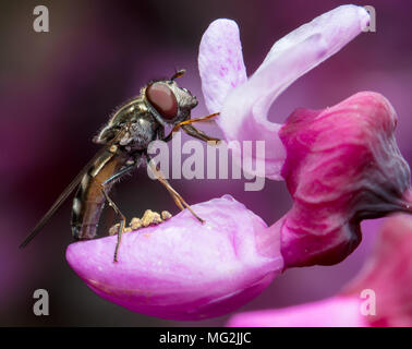 Fly on pink flower - Stock Photo