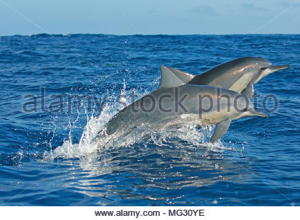 Spinner dolphin (Stenella longirostris), leaping, Ogasawara Islands, Japan - Stock Photo