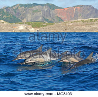 Spinner dolphin (Stenella longirostris) pod of dolphins at surface, Ogasawara Islands, Japan - Stock Photo