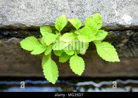Green Plant Growing in Drain. - Stock Photo