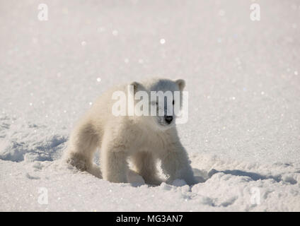 Cute Polar bear cub walks in the tracks left by its mother on the snow covered ice of a frozen fjord. - Stock Photo