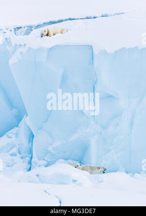 Polar bear cube seperated from mother and sibling looks down from the top of an iceberg - Stock Photo