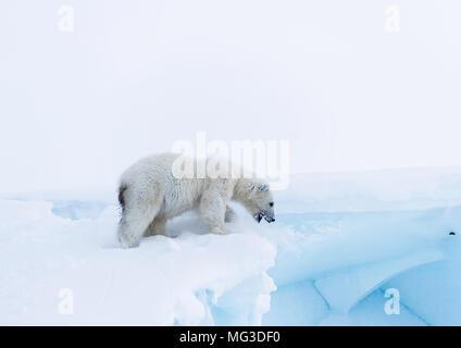 Year old juvenile polar bear cub on top of an iceberg.  Baffin, Arctic Canada - Stock Photo