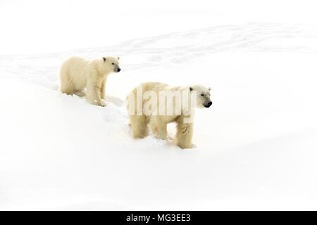 Mother polar bear and a yearling cub walking on an iceberg, Baffin Island, Canada, nunavut, arctic - Stock Photo