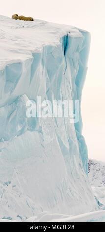 Mother polar bear and 2 yearling cubs sleeping on an iceberg, Baffin Island, Canada, nunavut, arctic - Stock Photo