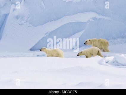 Mother polar bear and 2 yearling cubs walking on an iceberg, Baffin Island, Canada, nunavut, arctic - Stock Photo