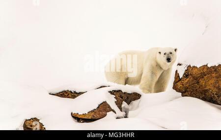 Solitary large male polar bear on the hillside.  Baffin, Nunavut, Canada, arctic - Stock Photo