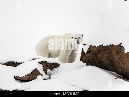 Solitary large male polar bear on the hillside.  Baffin, Nunavut, Canada, arctic - Stock Photo