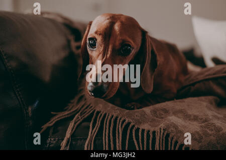 One-year-old smooth brown dachshund dog sitting on the cushions and a throw on a sofa inside the apartment, looking in the camera. - Stock Photo