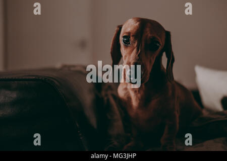 One-year-old smooth brown dachshund dog standing on a sofa inside an apartment, looking in the camera, in the evening, moody lighting. - Stock Photo