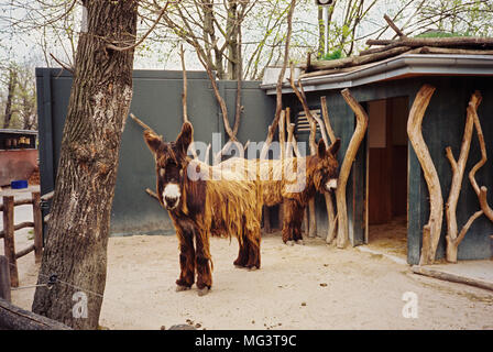 Poitou donkeys Schönbrunn Zoo, Maxingstraße, Vienna, Austria, Europe, - Stock Photo