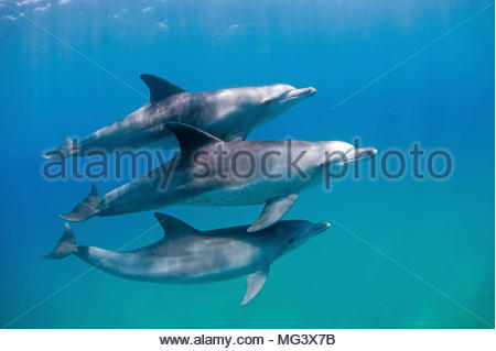 Grosser Tuemmler (Tursiops truncatus), Gruppe, Sodwana Bay, Suedafrika | Bottlenose dolphin (Tursiops truncatus), group, Sodwana Bay, South Africa - Stock Photo
