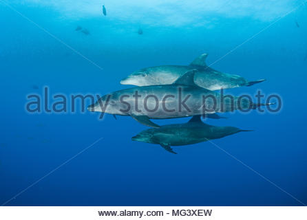 Grosser Tuemmler (Tursiops truncatus), Gruppe, Socorro Inseln, Mexiko | Bottlenose dolphin (Tursiops truncatus), group, Socorro islands, Mexico - Stock Photo