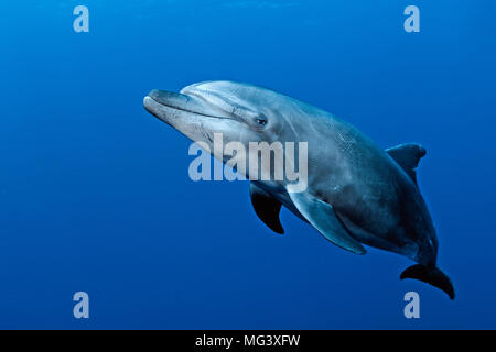 Grosser Tuemmler (Tursiops truncatus), Socorro Inseln, Mexiko | Bottlenose dolphin (Tursiops truncatus), Socorro islands, Mexico - Stock Photo