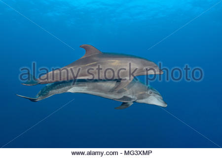 Grosser Tuemmler (Tursiops truncatus), Paar, Socorro Inseln, Mexiko | Bottlenose dolphin (Tursiops truncatus), pair, Socorro islands, Mexico - Stock Photo