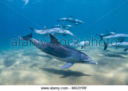 Grosser Tuemmler (Tursiops truncatus), Sodwana Bay, Suedafrika | Bottlenose dolphin (Tursiops truncatus), pod of dolphins, Sodwana Bay, South Africa - Stock Photo