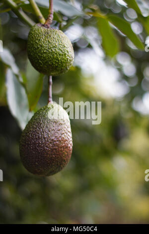Avocado fruit hanging on the tree before harvest.