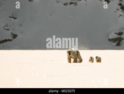 Mother polar bear and two of this years newborn cubs walk across the ice of a frozen fjord, Baffin - Stock Photo