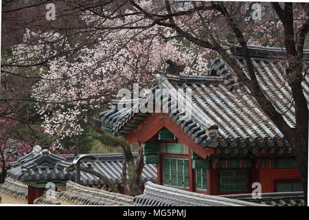 View of cherry blossoms and a traditional rounded tile roof on a red out-building near the Secret Garden, Changdeokgung Palace, Seoul, South Korea. - Stock Photo