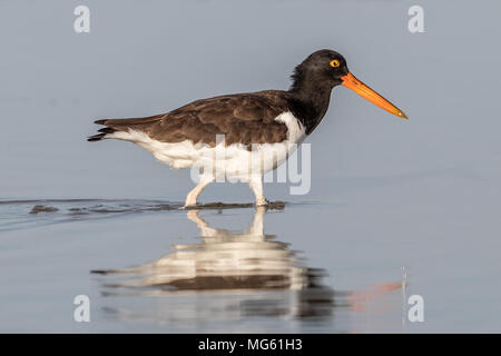American Oystercatcher Florida - Stock Photo