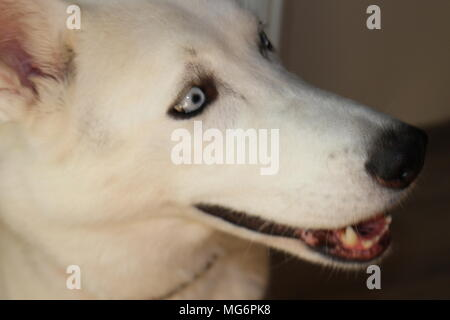 Beauty dog posing siberian husky the sled dog - Stock Photo