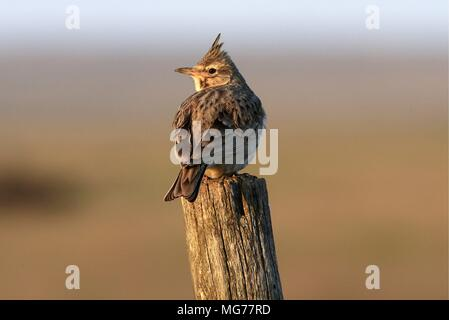 Russia. 26th Apr, 2018. ROSTOV-ON-DON REGION, RUSSIA - APRIL 26, 2018: A crested lark (Galerida cristata) in the Rostovsky nature reserve in Orlovsky District, by the shores of Lake Manych-Gudilo. Valery Matytsin/TASS Credit: ITAR-TASS News Agency/Alamy Live News - Stock Photo