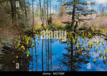 Swamp lanterns aka Skunk Cabbage flowers, Lysichiton americanus, Cumberland Community Forest, Cumberland, Vancouver Island, British Columbia, Canada. Stock Photo
