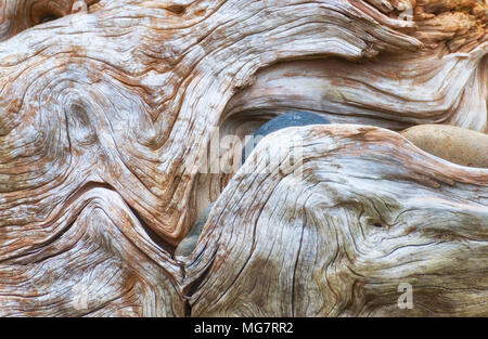 Close up of the interesting lines and rocks in and on a large piece of driftwood on the shores of Oregon Islands Wildlife Refuge on the Oregon Coast. - Stock Photo