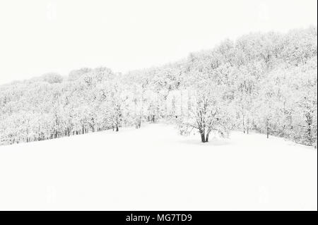 Copyspace available in this minimalist winter landscape of snow covered oak grove on hillside.  The trees structures a great contrast to the white snow - Stock Photo