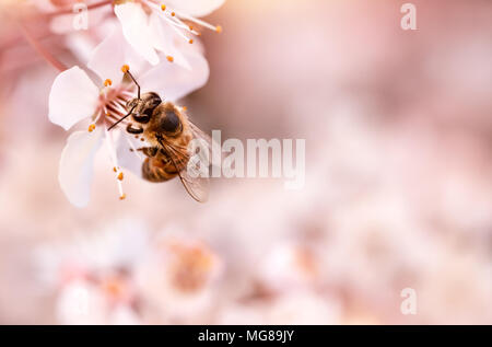 Closeup photo of little bee pollinating blooming cherry tree, insect sitting on gentle white flowers over pink blurry background, spring season - Stock Photo