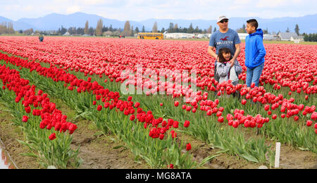 A father and his two children in a field of tulips at the Skagit Valley Tulip Festival in Mount Vernon, Washington, USA. - Stock Photo