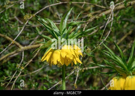 Yellow Crown Imperial Lily flower, (Fritillaria Imperialis Lutea) - Stock Photo