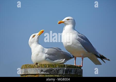 European herring gulls (Larus argentatus), Animal pair sitting on pillars, North Sea coast, Schleswig-Holstein, Germany - Stock Photo