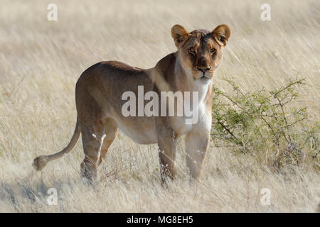 Lioness (Panthera leo) standing in dry grass, alert, Etosha National Park, Namibia - Stock Photo